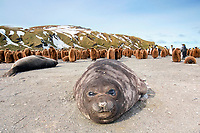 South Georgia Island, Gold Harbor, Southern elephant seal (Mirounga leonina) and king penguins (Aptenodytes patagonicus)
