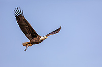 Adult Bald Eagle in flight with fish