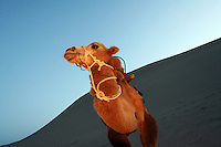A camel used to carry tourists near the tourist attraction Ming Sha Shan. Dunhuang, Gansu Province. China