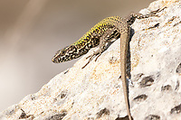 Wall lizard (Podarcis muralis) in coastal quarry. Isle of Purbeck, Dorset, UK.