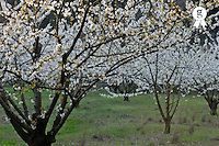 Almond tree in flower at spring (Licence this image exclusively with Getty: http://www.gettyimages.com/detail/101682975 )