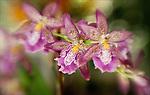 Beallara Marfitch 'Howard's Dream' Orchid.Miltassia Charles M. Fitch x Oda. Fremar.November 16, 2006. © Fitzroy Barrett