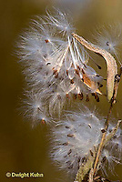 MK01-029b  Milkweed - seed dispersal, breaking from pods, blowing in wind - Asclepias syriaca