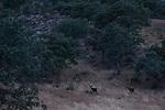 Iberian Red Deer (Cervus elaphus hispanicus) stags in mediterranean forest, Sierra de Andujar Natural Park, Sierra de Andujar, Sierra Morena, Andalusia, Spain