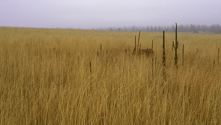 Dark plants rise in the midst of a wheatfield on a foggy day.