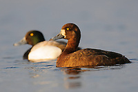 Pair of Greater Scaup (Aythya marila) on a tundra pond. Seward Peninsula, Alaska. June.