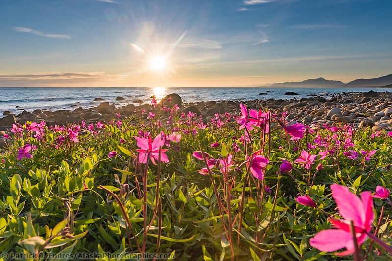 Dwarf fireweed at sunset, Gulf of Alaska and the fairweather mountain range.