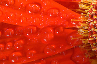 Red-Orange Gerberia Daisy photographed in extreme close up with water droplets