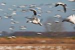 Snow geese (Chen caerulescens) in flight, Pocosin Lakes National Wildlife Refuge