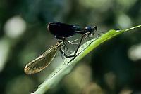 Gebänderte Prachtlibelle, Pracht-Libelle, Paarungsrad, Paarung, Kopula, Kopulation, Calopteryx splendens, Agrion splendens, banded blackwings, banded agrion, pairing