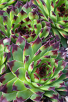 Sempervivum calcareum 'Greenii' aka S. tectorum Greenii succulent groundcover Hen & Chicks drought tolerant plant