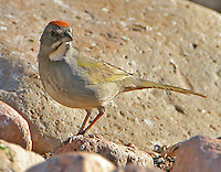Adult green-tailed towhee