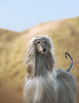 Afghan Hound, a desert dog in a Regal pose <br />