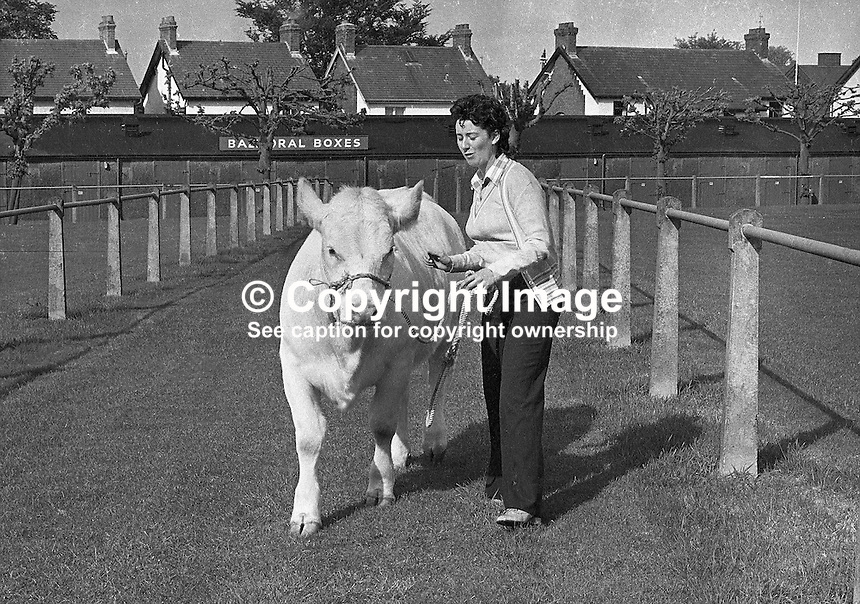 A lone exhibitor who had arrived for Balmoral Show, Belfast, N Ireland, just before it was cancelled because of the Ulster Workers' Council strike, exercising a Charolais heifer surrounded by empty pens. Subsequently the show took place late June. 7405210287-3.<br />