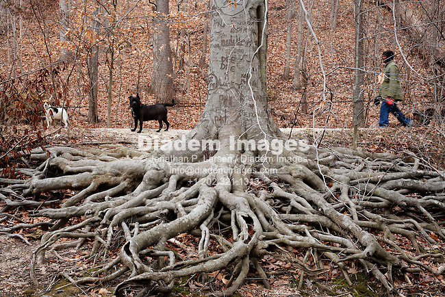 A man walking two dogs past a massive American Beech tree.