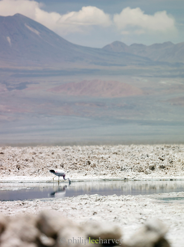 A flamingo drinking at Salar de Atacama, Atacama desert, Chile