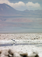 A flamingo drinking at Salar de Atacama, Atacama desert, Chile