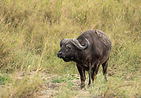 Yellow-billed Oxpeckers, Buphagus africanus, perch on the back of a Cape Buffalo, Syncerus caffer caffer, in Serengeti National Park, Tanzania.