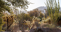 Desert landscape with Cylindropuntia bigelovii Teddy Bear cactus and Ocotillo (Fouquieria splendens) at Living Desert Zoo and Gardens, Palm Springs, California.