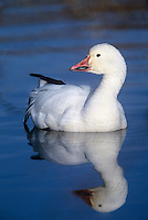 537296262 a wild adult snow goose chen caerulescens swims in a small reed filled pond at bosque del apache national wildlife refuge new mexico united states