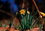 A87DG2 Wild woodland daffodils Suffolk England