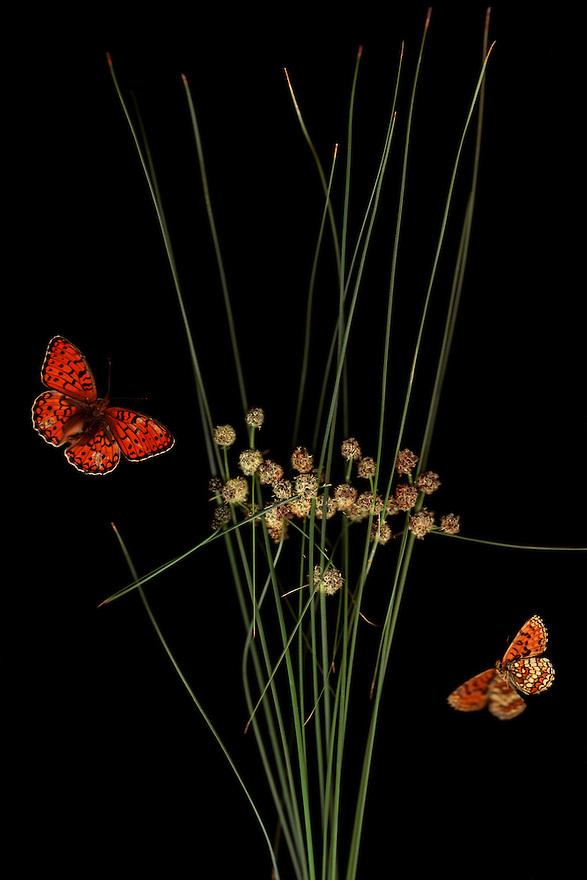 Round-headed Club-rush, Scirpus holoschoenus, with Heath Fritillary butterfly, Mellicta athalia, and Niobe Fritillary butterfly, Argynnis niobe var. eris, Stenje region, Lake Macro Prespa (850m) <br /> Galicica National Park, Macedonia, June 2009<br /> Mission: Macedonia, Lake Macro Prespa /  Lake Ohrid, Transnational Park<br /> David Maitland / Wild Wonders of Europe