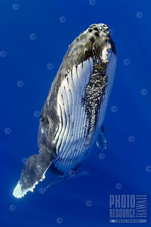 A humpback whale, Megaptera novaeangliae, Hawai'i.