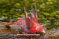 01528-00612 Summer Tanager (Piranga rubra) male bathing, Marion Co., IL