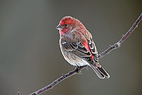 Male House Finch in winter, Carpodacus mexicanus