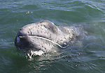 FB-S158  Gray Whale Calif.  4x6 postcard