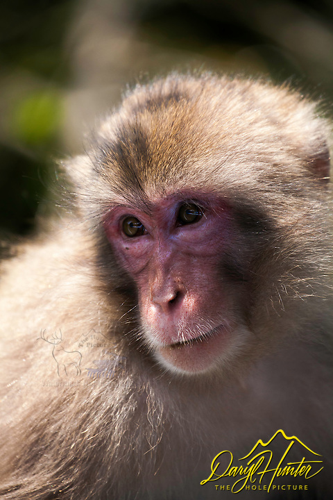 Macaque Monkey, Nishi Izu, Japan.  These monkeys roam the south end of the Izu Peninsula as well as other locations in Japan.