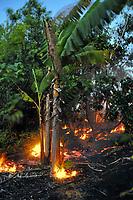 Lava flow in palm trees, Near Hawaii, USA Volcanoes National Park, Kalapana, Hawaii, USA, The Big Island of Hawaii, USA
