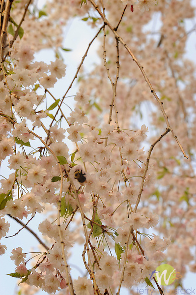 Weeping Cherry tree in blossom.