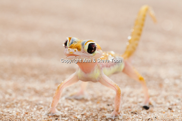 Webfooted gecko, Palmatogecko rangei, licking dew from face, Namib Desert, Namibia .