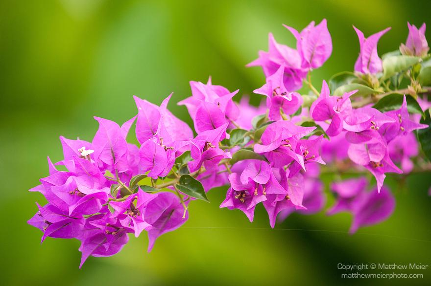 Rakiraki, Viti Levu, Fiji; purple Bougainvillea flowers against a green backdrop