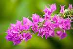 Rakiraki, Viti Levu, Fiji; purple Bougainvillea flowers against a green backdrop