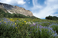 Lupines near Crested Butte