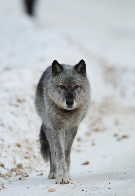 The alpha female of the Bow Valley wolf pack makes her way along a road  early in the morning  in Banff National Park, Alberta Canada, winter 2012..Photo By Gus Curtis.
