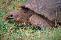 One of the enormous, slow-moving giant tortoises for which the Galapagos are famous.