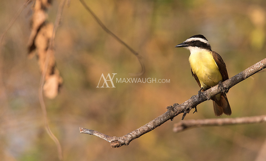 The Great kiskadee is a common species in Costa Rica.