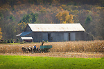 Amishman harvesting corn in Autumn with six horse team.