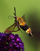 Snowberry clearwing sphinx moth at butterfly bush