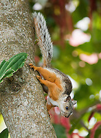 Variegated squirrel, Sciurus variegatoides, in the gardens of the Hotel Bougainvillea, San Jose, Costa Rica