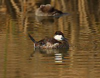Adult male ruddy duck in non-breeding plumage