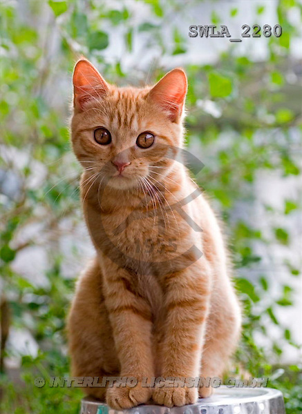 Carl, ANIMALS, photos(SWLA2280,#A#) Katzen, gatos