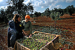Eliah Ben Na'im and his wife Raya, settlers, near a bin of olives during harvest, in an olive grove next to the unauthorized Israeli outpost of Givat Achia, West Bank.