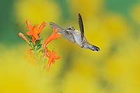 Ruby-throated Hummingbird (Archilochus colubris), female in flight feeding on Cape honeysuckle (Tecoma capensis) flower, Hill Country, Texas, USA