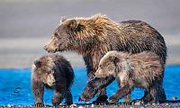 Coastal Brown Bear (Ursus arctos) family.  New mom with her first litter of cubs.  They are about 7-8 months old.  Mom proved to be an excellent fisher - she (usually) shared her catch with the cubs.  Both cubs (females) carried full little bellies off the beach on this morning.  Here the cubs warily eye each other - they were constantly sparring.  Lake Clark National Park, Alaska.