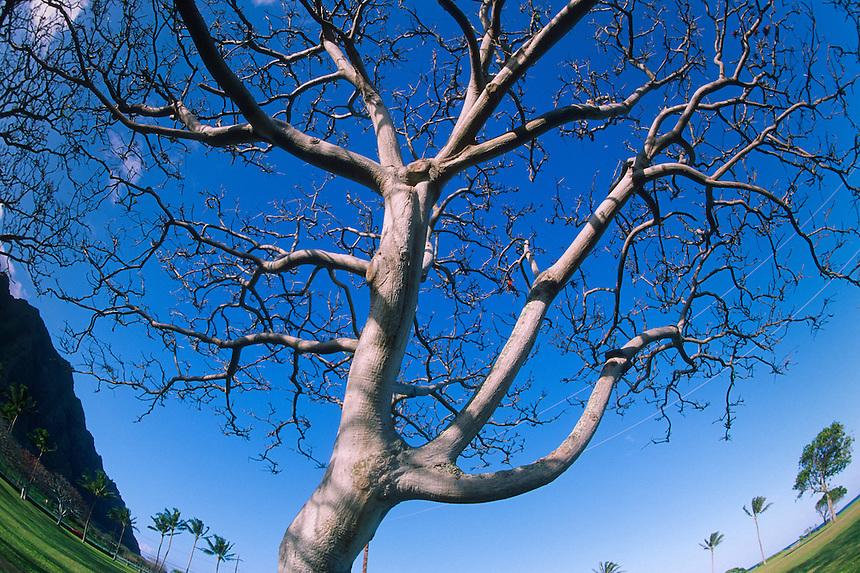 Tree at Lualoa Park, Oahu, Hawaii, US