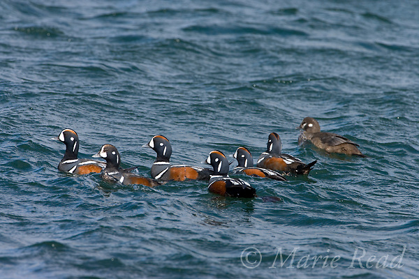 Harlequin Ducks (Histrionicus histrionicus), breeding plumage, bachelor group of males and female (R),  Barnegat Inlet, New Jersey, USA